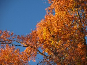 fall-oak-trees